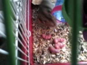 anak hamster,,,